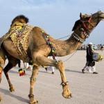 Как се подстригва камила